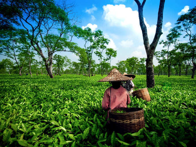 Why Assam Tea is Popular?
