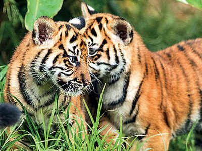 Tiger Count In India Has Increased-Telugu Agriculture And Climate News-12/03