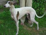 Rampur greyhound