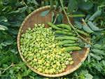 British: Broad Bean