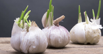What happens when you consume garlic during pregnancy?