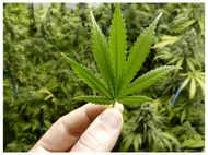 Family mistakes Marijuana for Methi , hospitalized after eating 'Ganja Subzee'