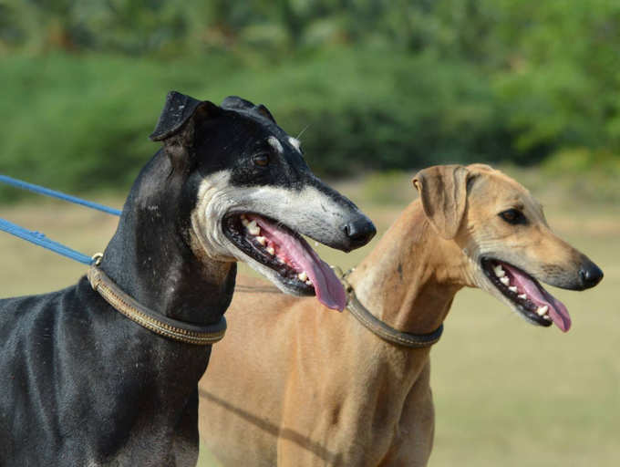 Dog breeds that are native to India | The Times of India