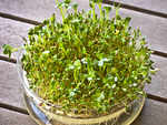The process to grow Alfalfa sprouts at home