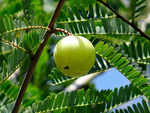 When and how much amla one should have in a day