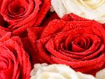 Rose Day - February 7