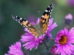 Planting pollinator-friendly plants