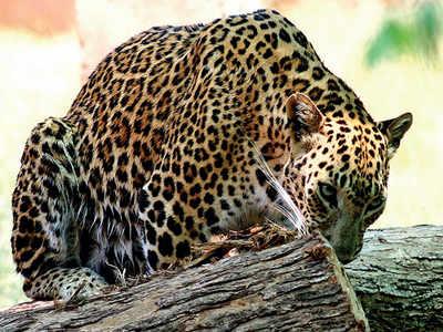 Lockdown: Leopards get free rein, attack 2 in a night