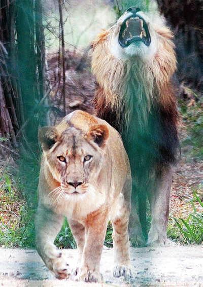 Karnataka: Tyavarekoppa to get two lions from Bannerghatta
