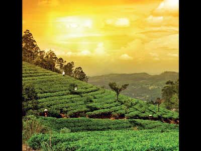 First flush Darjeeling tea almost lost, say planters