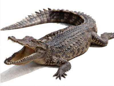 Crocodile strays into farm in Gujarat; rescued
