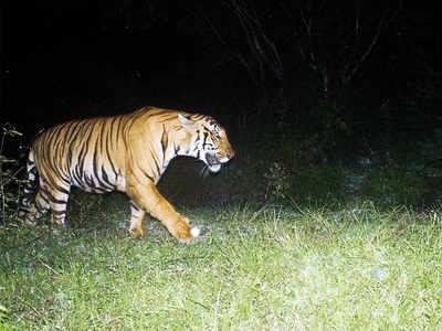 Tiger travels 200 km from Yavatmal, on prowl in Hingoli