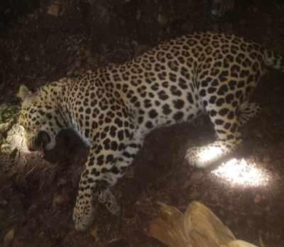 Man-eating leopard that terrorised Baramati locals shot dead on Friday