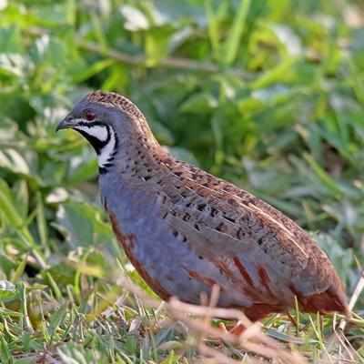 Rare king quail sighted near Mangalore International Airport
