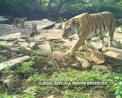 Tigress Kareena dies in Aurangabad zoo, swab sent for Covid-19 test