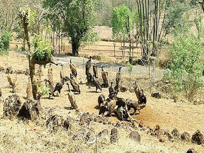 Vulture population drops 23% after 2020 cyclone