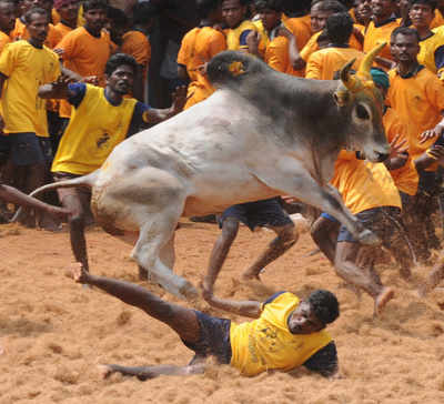 Jallikattu: All you need to know about the bull-taming sport