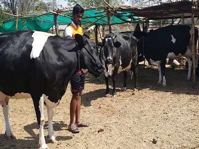 Milk economy in Western Maharashtra struggles for government's hand