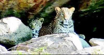 Leopard spotting scares tourists in Hampi