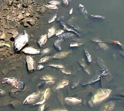 Dead fish found in Indrayani at Alandi