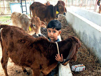 Coronavirus dries up moo-lah at gaushalas