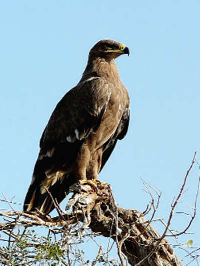 Eagles fall prey to vulture-killing chemical