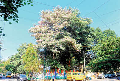 Ugly truth of global warming: Premature blooms in Bengaluru