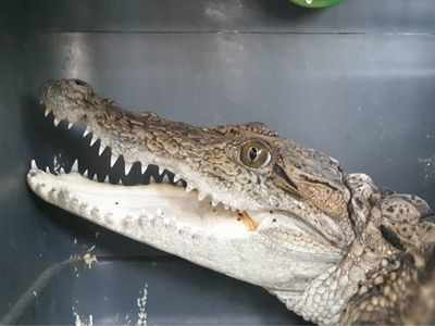 Crocodile rescued from water purification plant in Bhandup