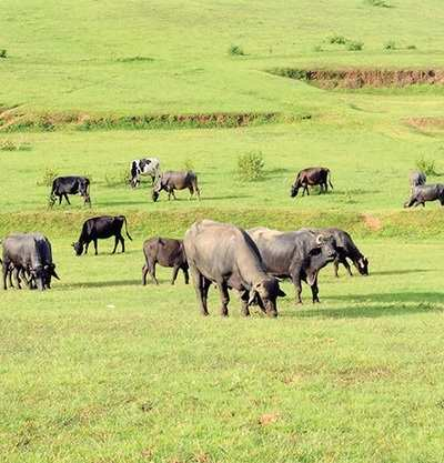 Brucellosis spreads, 22 heads of cattle, 5 humans affected
