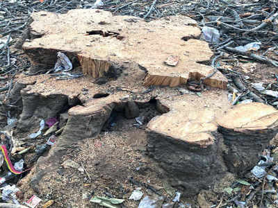 100-yr-old banyan tree goes missing