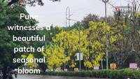 Pune witnesses a beautiful patch of seasonal bloom