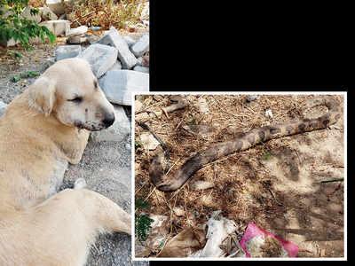 Stray dog battles viper, prevents entry into soc
