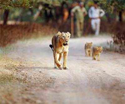 Illegal safari earns lion's share of tourists at GIR