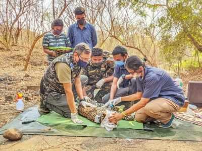 Watch: Female leopard radio-collared at Sanjay Gandhi National Park