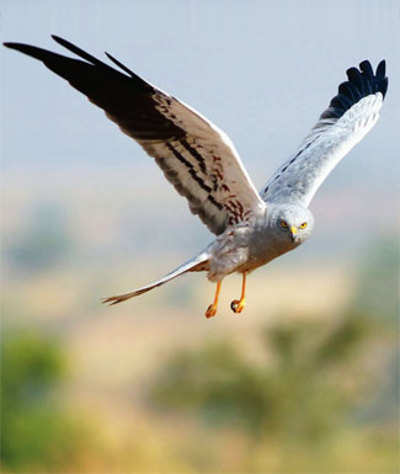 Journey of Montagu's harrier to be charted