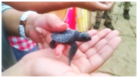 Visakhapatnam: Newly hatched baby turtles released into the sea