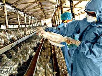 Bird flu: 836 more birds found dead in Maharashtra, state govt starts helpline number to report unusual mortality of birds