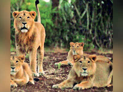 Reports on Gir lion deaths taken off medical site?
