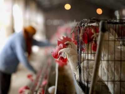 Bird flu: 45 chickens found dead in Palghar
