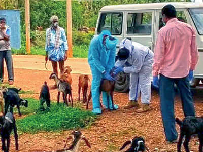 Watch: 47 goats quarantined after goatherd tests Covid-19 positive in Karnataka village