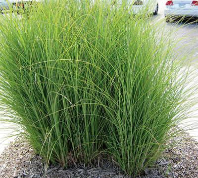Switchgrass may unlock the future of biofuel