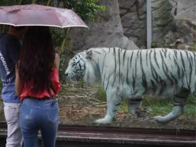 Eight-year-old white tiger dies in Hyderabad zoo