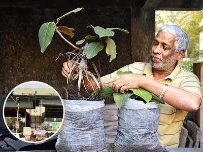 Small banyan sapling that broke through concrete to survive rescued by citizens