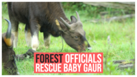 Forest officials rescue baby gaur caught in snare in Tamil Nadu