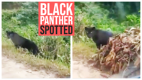 Majestic: Black panther spotted on a trail