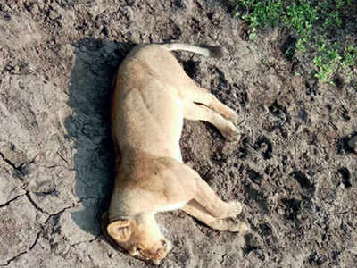 'Reduced habitat may have caused Gir lion deaths'