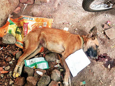 Fear reigns at Yerwada soc after 21 dogs, cats poisoned in a month