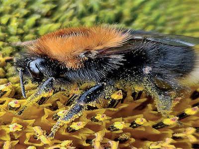 Mirrorlights: Bee pollen: Unearth the treasure trove of health benefits