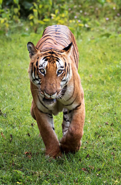 What's killing Karnataka's tigers?