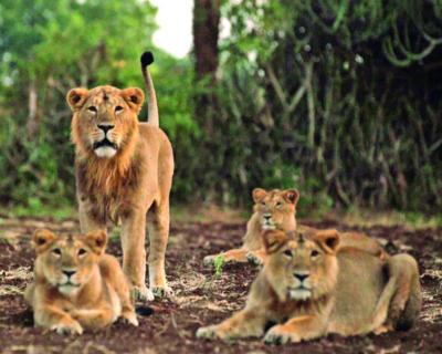 Must shift rail tracks, shutdown quarries to save Gir lions: Gujarat HC